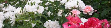 broc-rose
