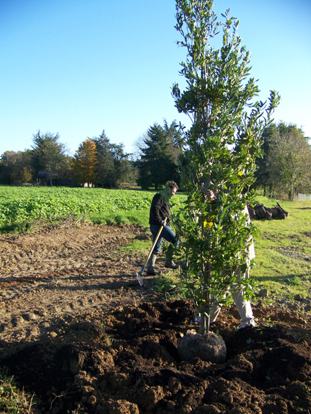 Quercus turneri, parrainé par la SH35 pour son 160e anniversaire