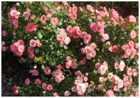 rosiers06.jpg