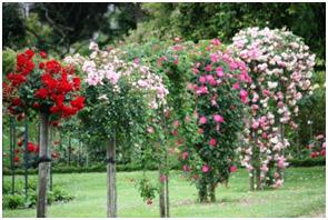 La taille des rosiers sh35 soci t d 39 horticulture d 39 ille vilaine - Comment tailler des rosiers ...