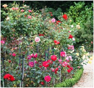 rosiers13.jpg