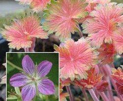 geranium-wlassovianum-fay-anna