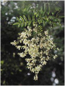 Fleur de Sophora, Poto Y-M Allain