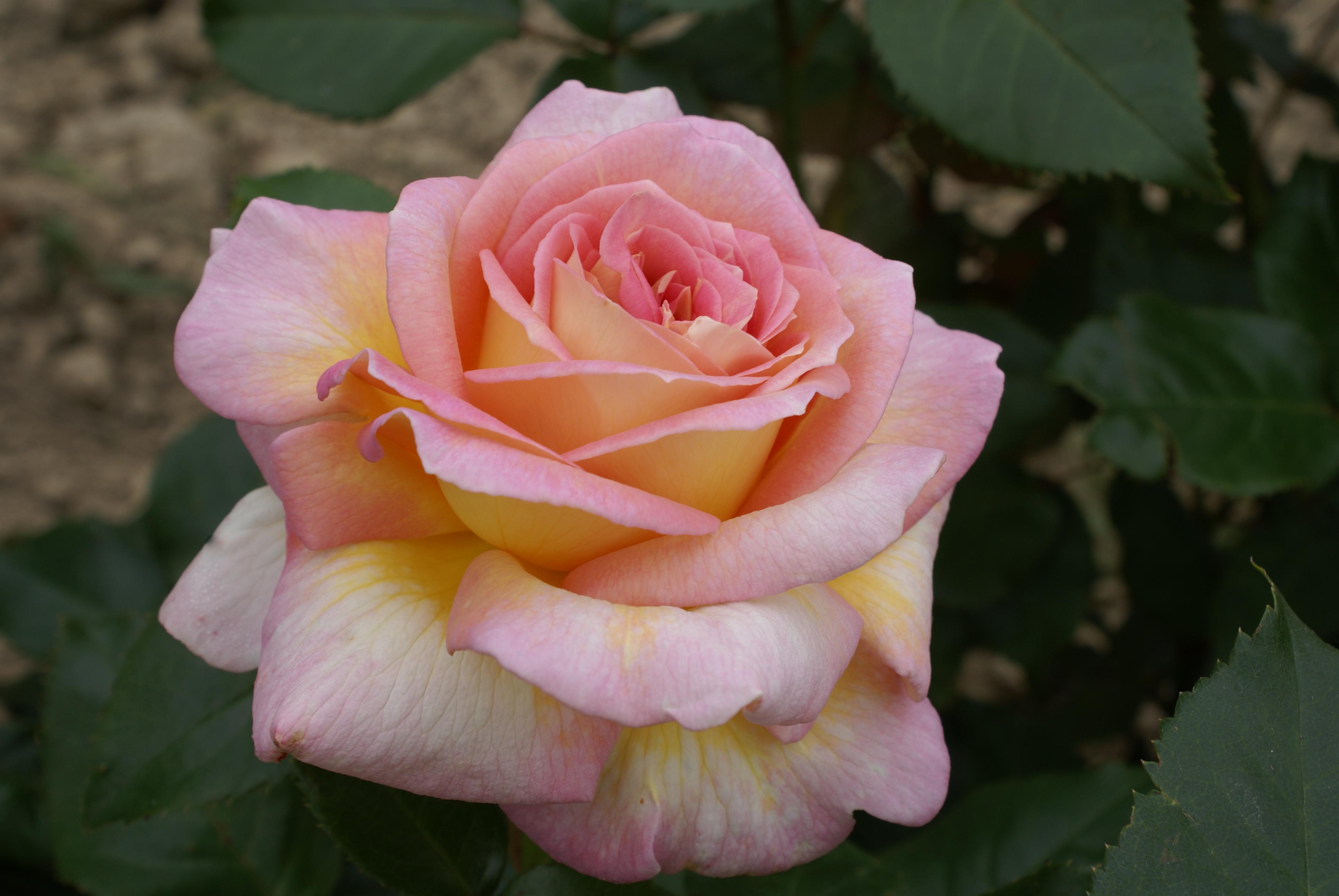 Une nouvelle rose de Michel Adam baptisée à Montreuil le Gast.