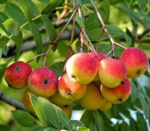 cormier-sorbier-à-gros-fruit-sorbus-domestica-pépinière-du-bosc