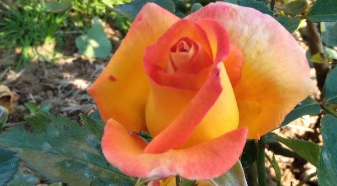 Le temps du regard, une nouvelle rose