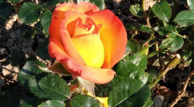 une nouvelle rose à découvrir